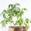 Tomato plant on white background — Stock Photo #24430577