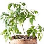 Tomato plant on white background — Stock Photo #24507873