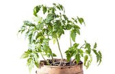 Tomato plant on white background — Stock Photo