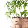 Tomato plant on white background — Stock Photo #24540939