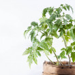 Tomato plant on white background — Stock Photo