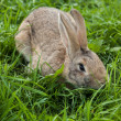 Rabbit in the grass — Foto de Stock