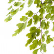 Branch of young leaves — Stock Photo