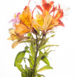 Alstroemeria flowers — Stock Photo