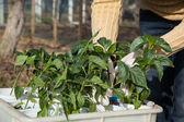 Gardening, planting concept — Stock Photo