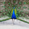 Close up of peacock showing its beautiful feathers — Stock Photo