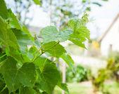 Branch of grape vine — Stock Photo