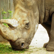 Rhinoceros - Stock Photo