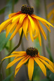 Rudbeckia — Photo