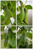 Cucumber — Stockfoto