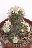 Cactus bloemen — Stockfoto