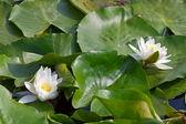 Witte waterlily — Stockfoto