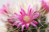 Cactus flower — Stockfoto
