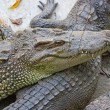 Crocodiles — Stock Photo #38246985