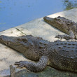 Crocodiles — Stock Photo #39555129