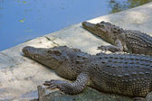Crocodiles — Stock Photo