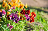Violas or Pansies Closeup in a Garden — Stock Photo