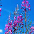 Purple Alpine Fireweed against blue sky — Stock Photo