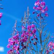 Stock Photo: Purple Alpine Fireweed against blue sky