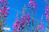 Purple Alpine Fireweed against blue sky — Stock Photo