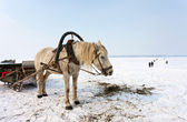Horse at the bank of frozen river Volga in Samara, Russia — Stock Photo