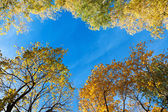 Tall trees in the park against blue sky — Stock Photo