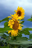 Beautiful yellow sunflowers against cloudy sky background — Stock Photo