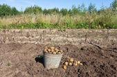 Première récolte de pommes de terre nouvelles agriculture biologiques — Photo