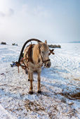 Horse at the bank of frozen river Volga in Samara, Russia — Stock Photo