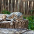 Cat lying on an old stump - Foto de Stock