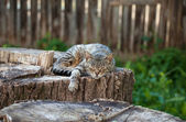 Cat lying on an old stump — Stock Photo