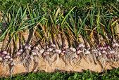 Gathered organic garlic drying at the sun — Stock Photo