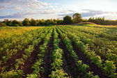 Potatoes plantation with a sunset light — Stock Photo