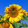 Beautiful yellow sunflowers against blue sky background — Stock Photo