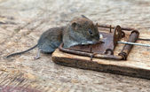 Dead mouse in a mousetrap — Stock Photo