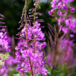 Purple Alpine Fireweed closeup in last summer — Stock Photo