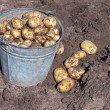 Harvest of organically grown new potatoes - Stock Photo
