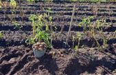 Primera cosecha de patatas cultivadas orgánicamente — Foto de Stock