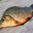 Freshwater fish crucian - Stock Photo