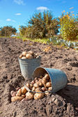 First harvest of organically grown new potatoes — Stock Photo