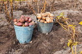 Fresh and raw potato at the field — Stock Photo