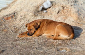 The big brown stray dog sleeping on the ground — Stock Photo