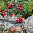 Ripe red cowberry close up — 图库照片