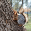 Red squirrel eating a nut on a tree — Stock Photo #26145653
