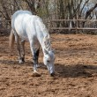 Stock Photo: White horse in paddock