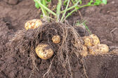 Fresh potato crop just dug out of the ground — Stock Photo