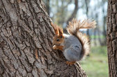 Red squirrel eating a nut on a tree — Stock Photo