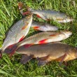 Freshwater fish on the green grass — Stock Photo
