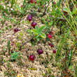 Wild cranberries growing in bog, autumn harvesting — Stock Photo