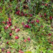 Stock Photo: Wild cranberries growing in bog, autumn harvesting